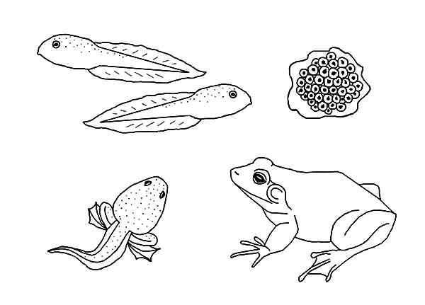 Bullfrog Life Cycle Coloring Page : Best Place to Color