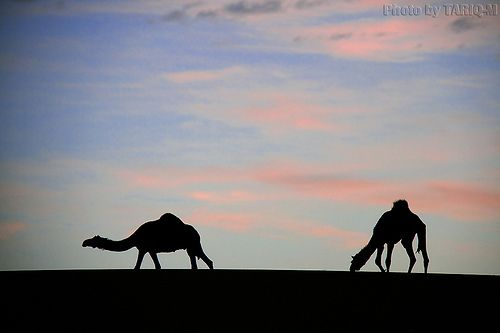 Silhouette Camels - Explore Front Page