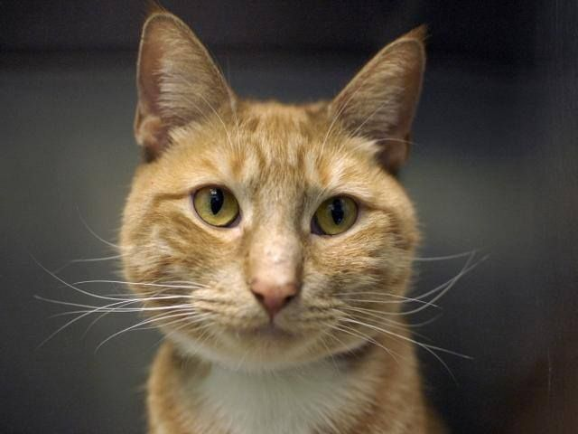 Pulled By Empty Cages Collective To Be Destroyed 3 21 15 Nyc Gorgeous Ginger Brooklyn Center Upon Intake Thomas Was Very Soc Cat Adoption Pets Animals