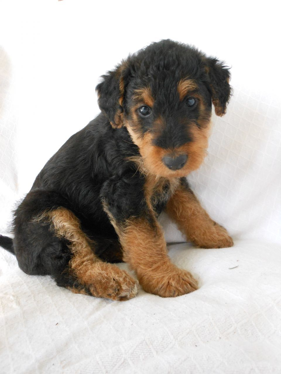 Pin By Joan On Puppies In 2020 With Images Airedale Puppy Airedale Terrier Puppies Airedale Terrier