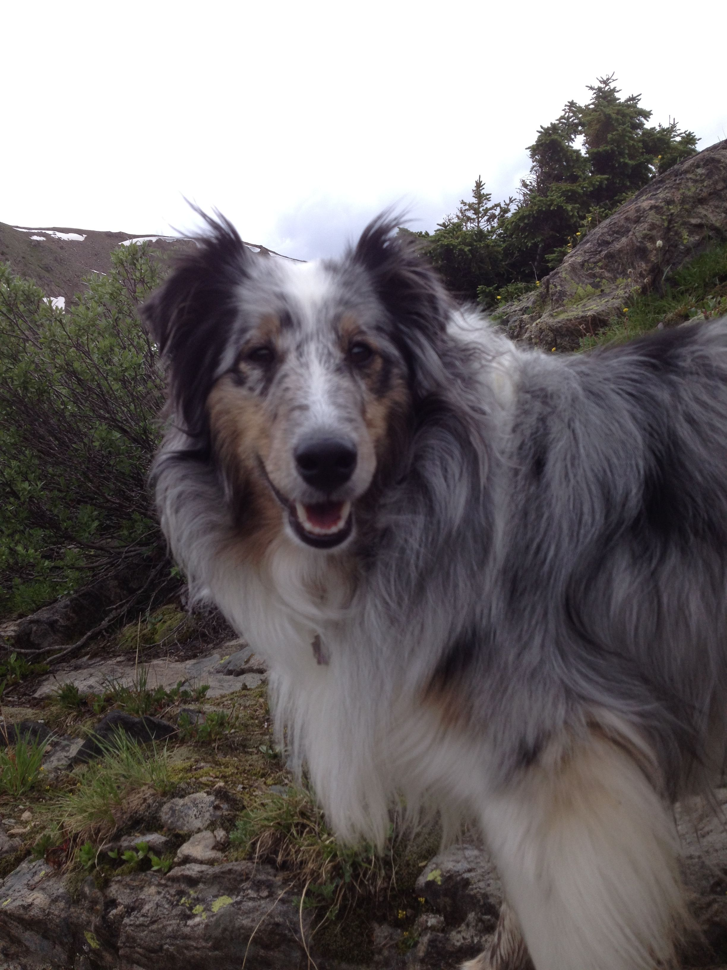 Cassie Blue Merle Sheltie A Big Day Of Hiking Blue Merle