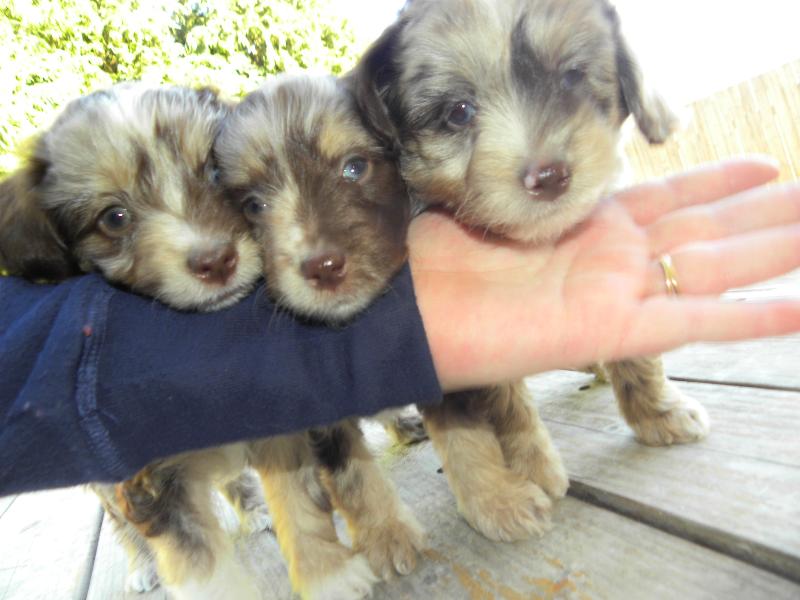 Mini F1 Aussiedoodles Labradoodle, Puppies, Animals