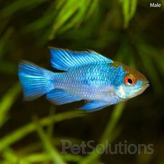 "Mikrogeophagus ramirezi ""Electric Blue Ram"" - +++"