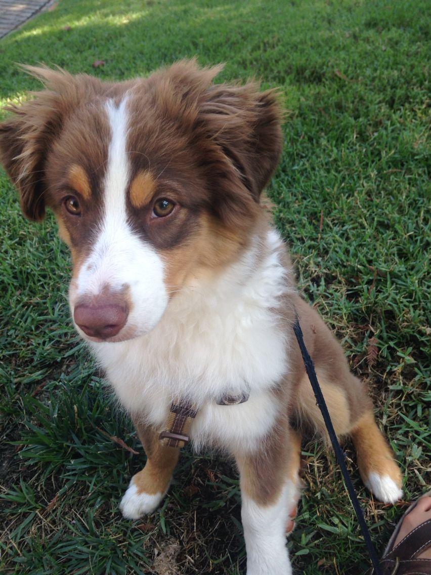 Mini Aussie Red Tri Australian Shepherd Cute Dog Mixes