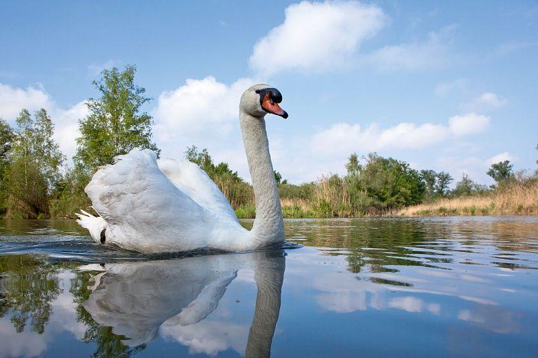Majestätisch gleitet der stolze Schwan durch den blauen See. Mit ihrer idyllischen Naturlandschaft und den leuchtenden Farben verbreitet die Fototapete Schwan am Altrhein von Stefan Arendt ein besonders freundliches Ambiente. #wallpaper
