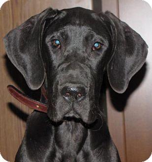 Omaha Ne Great Dane Meet Sawyer A Dog For Adoption Http