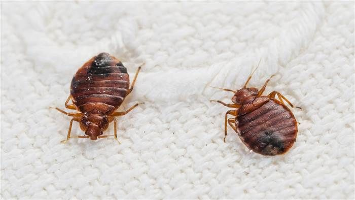1 Trick That May Protect You From Bedbugs When Traveling Bed Bug