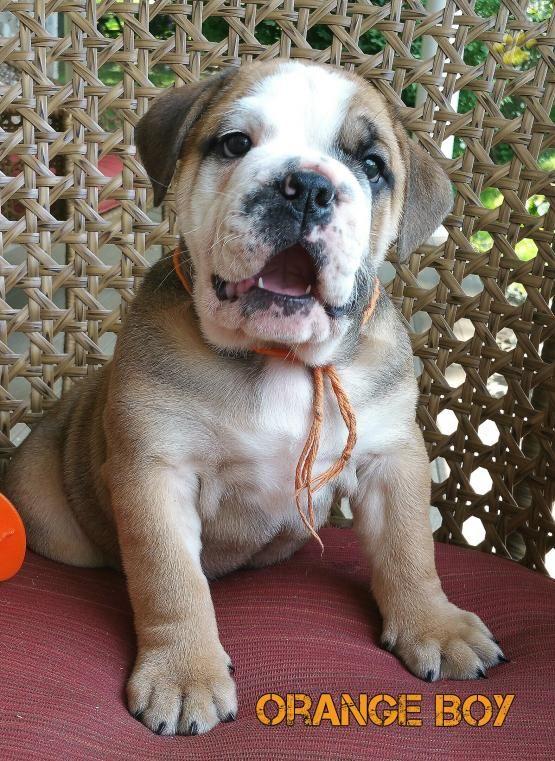 Orange Boy English Bulldog Puppy For Sale In Lancaster Pa