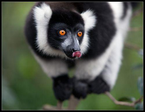 Licking Lemur:)