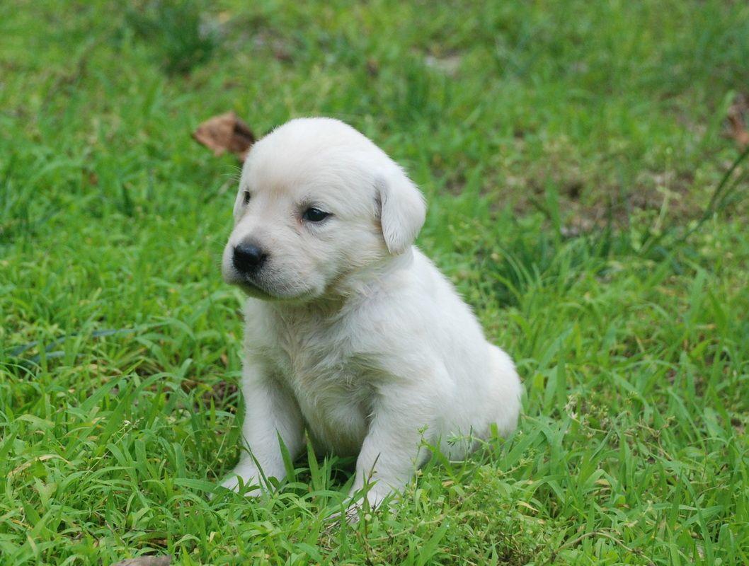 White Labrador Puppies English Labradors English Labrador