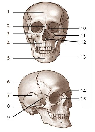 bones of the skull, labelled. from www.free-anatomy-quiz | pta, Skeleton