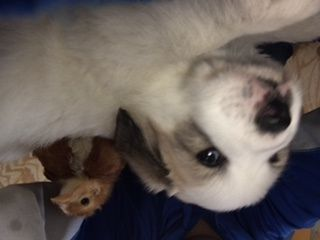 Litter Of 4 Great Pyrenees Puppies For Sale In Kansas City Mo