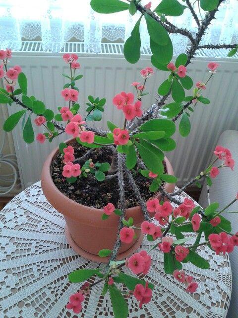 Rozet çiçeğim