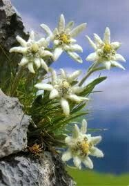 Edelweiss in their natural element...hugging a mountain's cracks and crevasses.