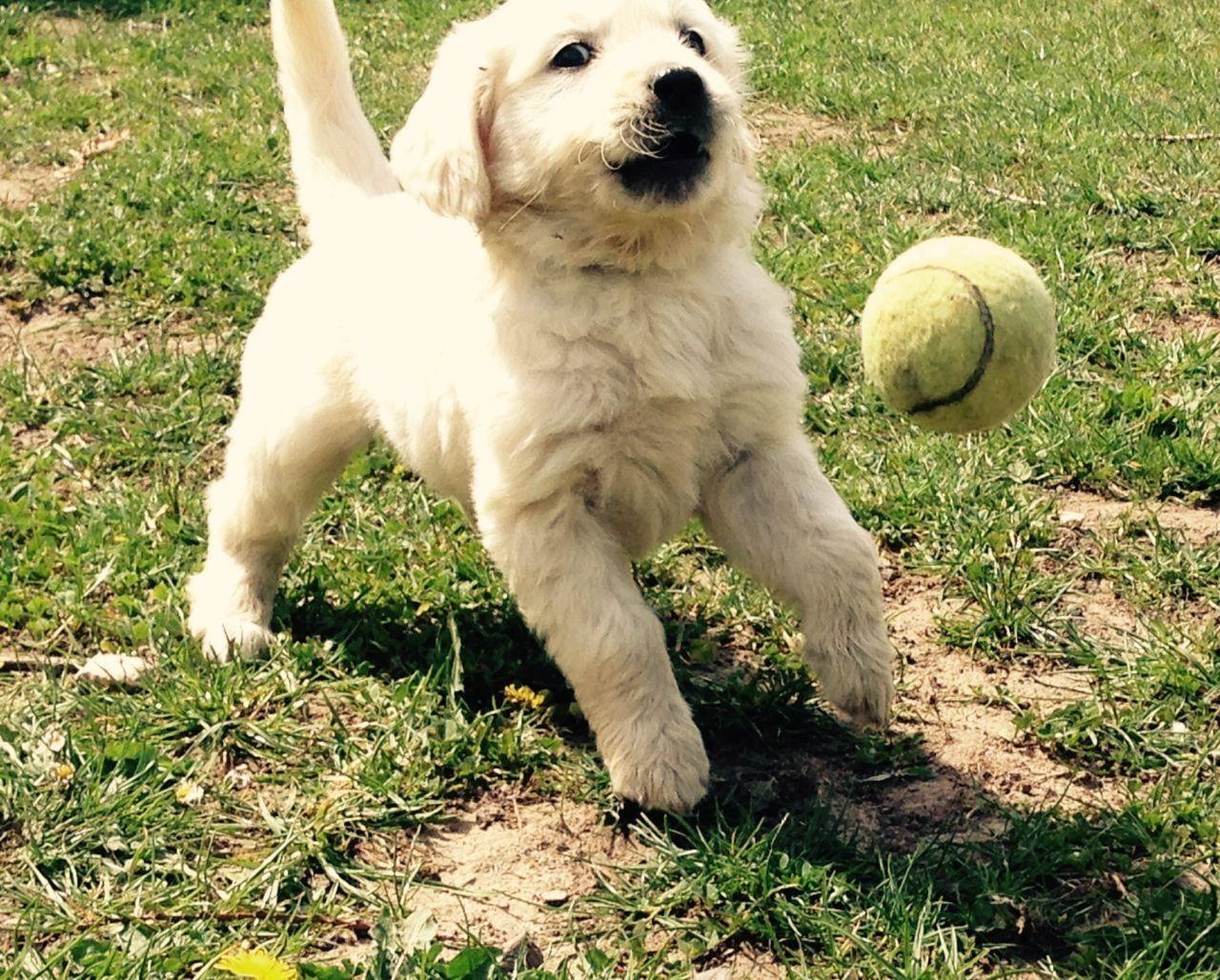 Golden Retriever Puppies For Adoption Retriever Puppy Puppies