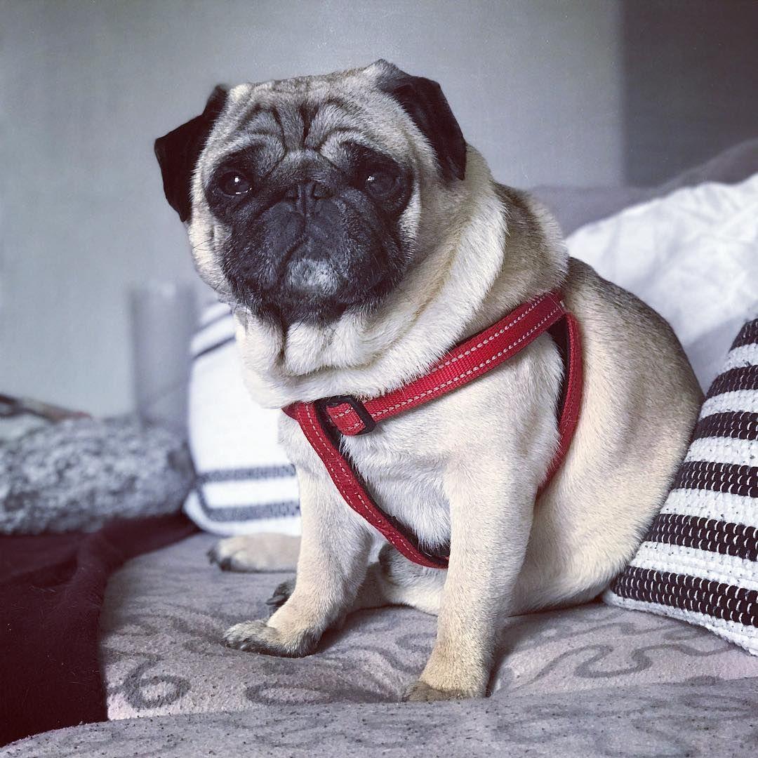 Bebishka Pugsofinstagram Carlin Carlins Pugdogs Pugfamily