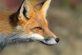 Fox Face profile Shows the length of the snout very small ...