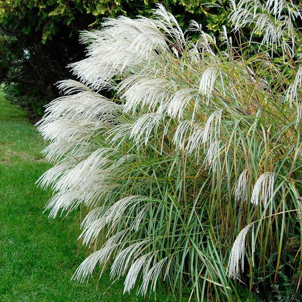 Pin By Marsha Mullin On Projects To Try Ornamental Grasses Grasses Landscaping Plants