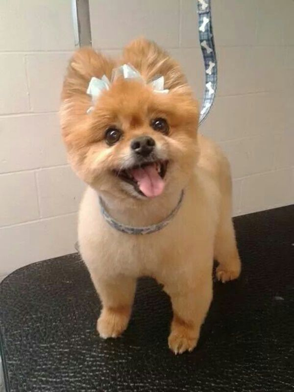 30 Different Dog Grooming Styles Cortes Para Perro Pinterest