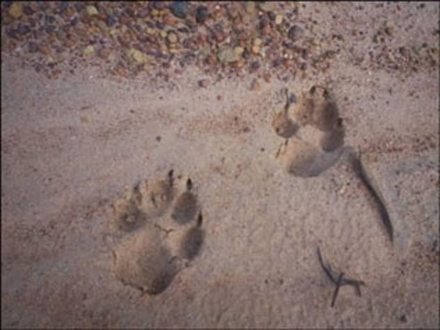 lion paw prints google