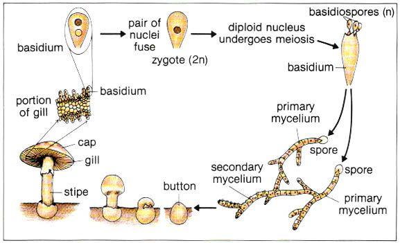 Welcome To The Fungi à à à à à à Stuffed Mushrooms Nature School Learn Biology