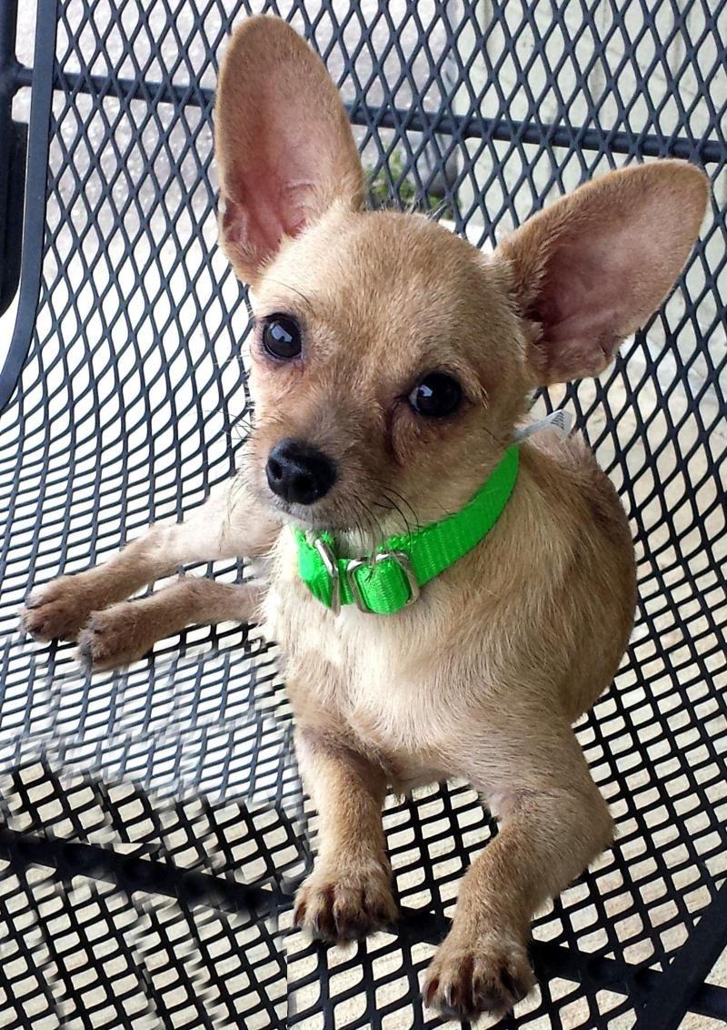 Adopt Mason On Yorkie Chihuahua Mix Chihuahua Chihuahua Mix