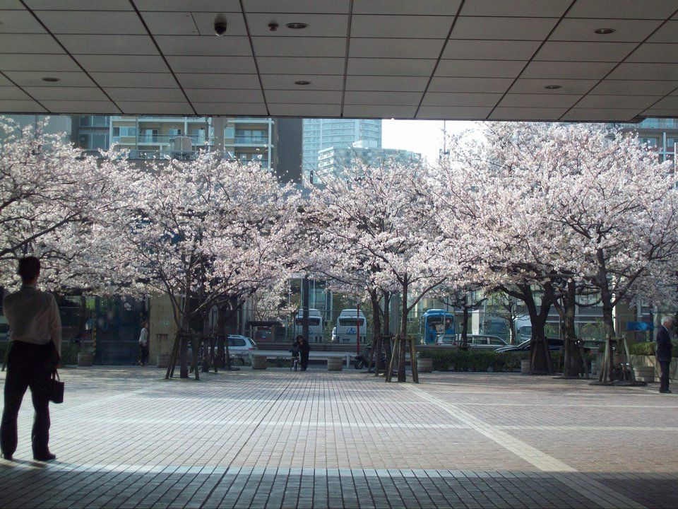cherry blossoms <2011?