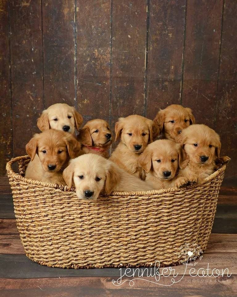 Nothing Better Than A Basket Full Of Puppies Golden Puppies