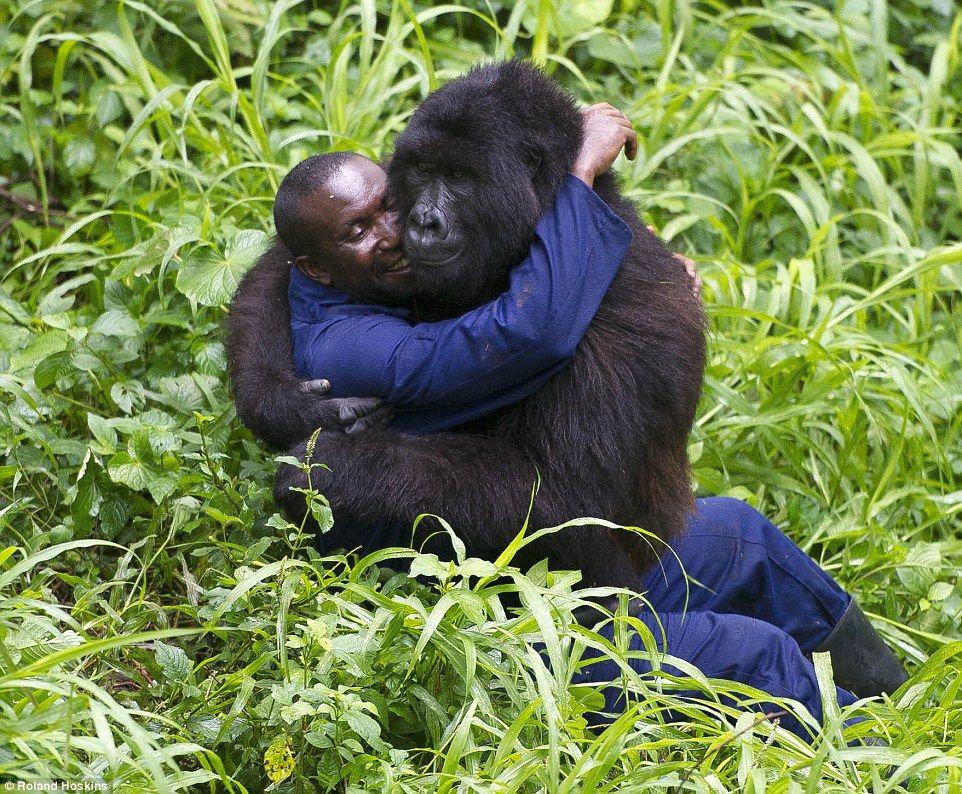 mountain gorillas an endangered species Human virus linked to deaths of endangered mountain gorillas mountain gorillas are a critically endangered species mountain gorillas live in central africa.