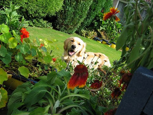 Pin By Melissa Chilcott On In The Garden Dog Friendly Garden Dog Garden Dog Friendly Plants