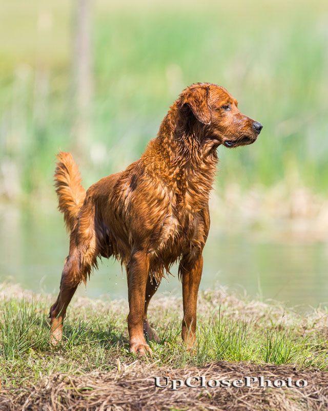 Grhrch Runs Creek Red Hot Titan Mh Mnr American Field Bred Golden Retriever Www Swampcollie Com Retriever Golden Retriever Red Retriever