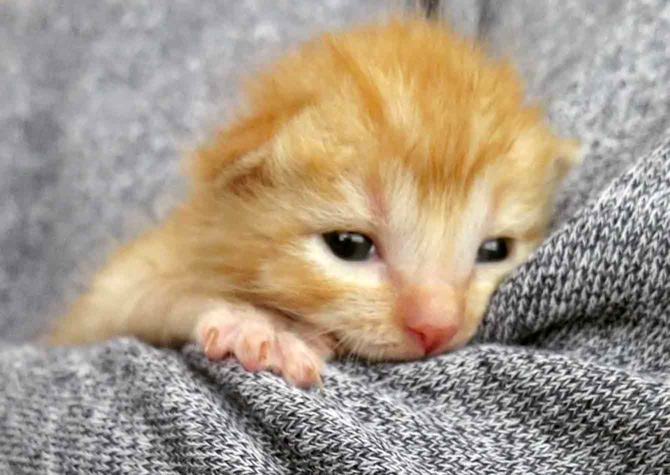5 Orphaned Ginger Kittens Get Help Just In Time Kittens Cats Kitty Lovecats Cutecats Cuteanimals Ginger Kitten Cats And Kittens Kittens