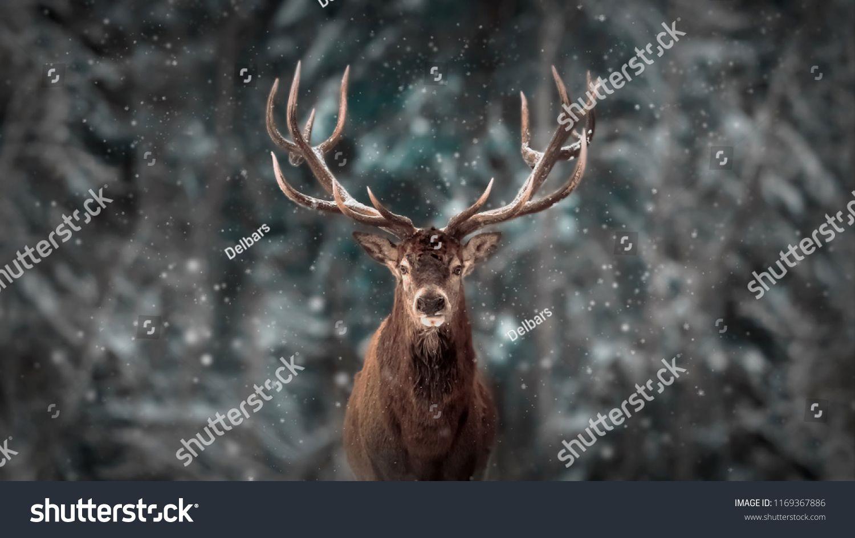 7a2a2dfc9de8 Noble deer male in winter snow forest. Artistic winter christmas landscape .male winter Noble deer