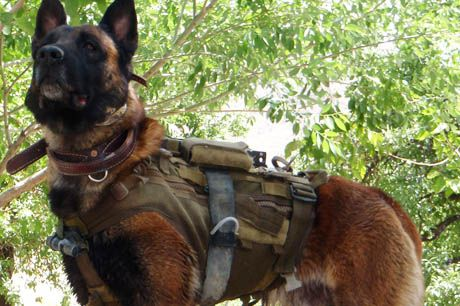 Australian Army Military Working Dog Quake Malinois Mwd