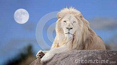 White Lion - Download From Over 48 Million High Quality Stock Photos