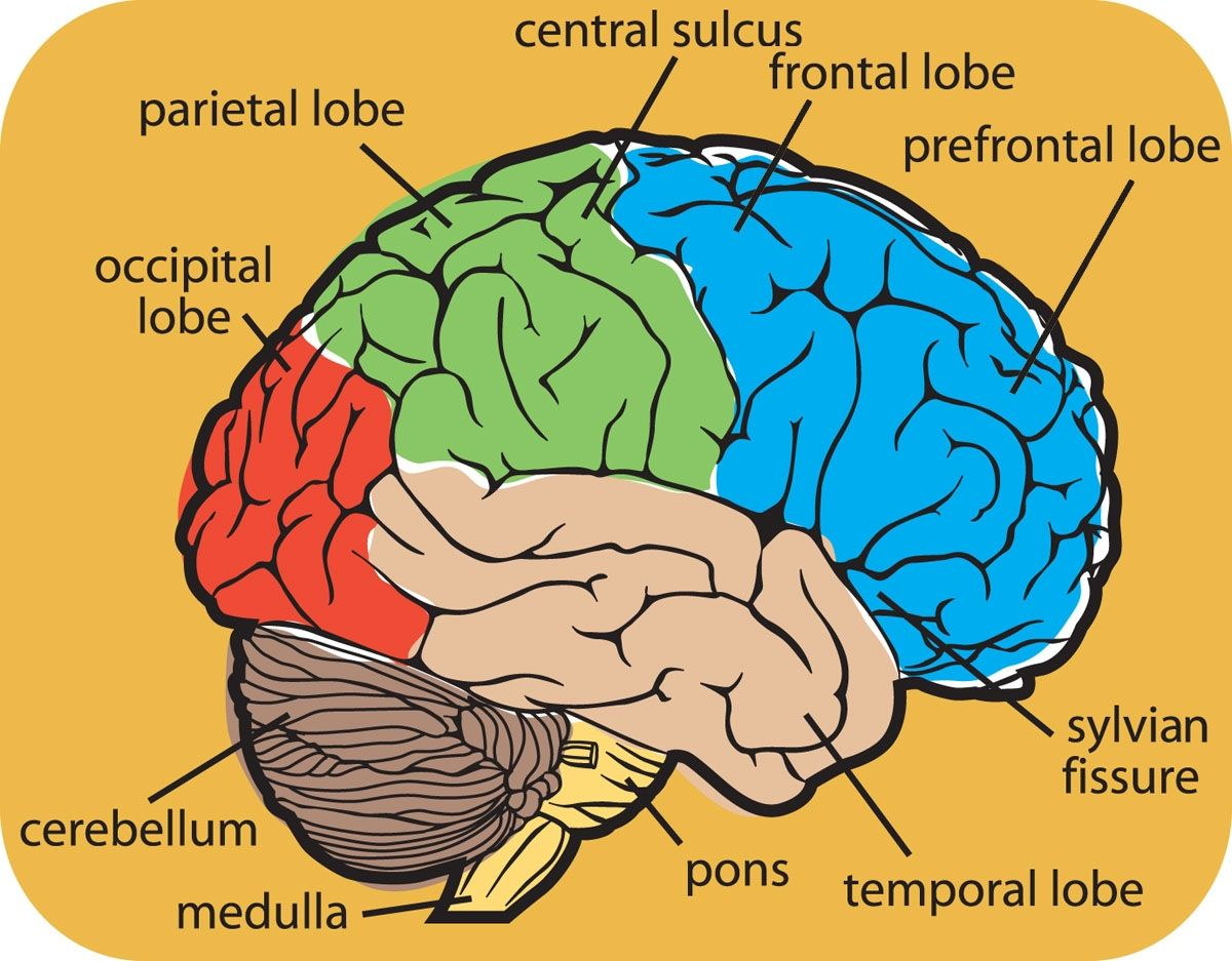 human brain labeled diagram is part of anatomy description from brainpuzzlesimage blogspot com au i searched for this on bing com images [ 1200 x 937 Pixel ]