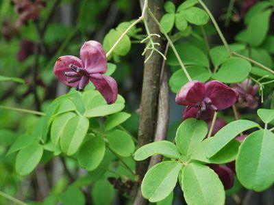 Akebia Quinata Jak Uprawiac Czekoladowe Pnacze Plants