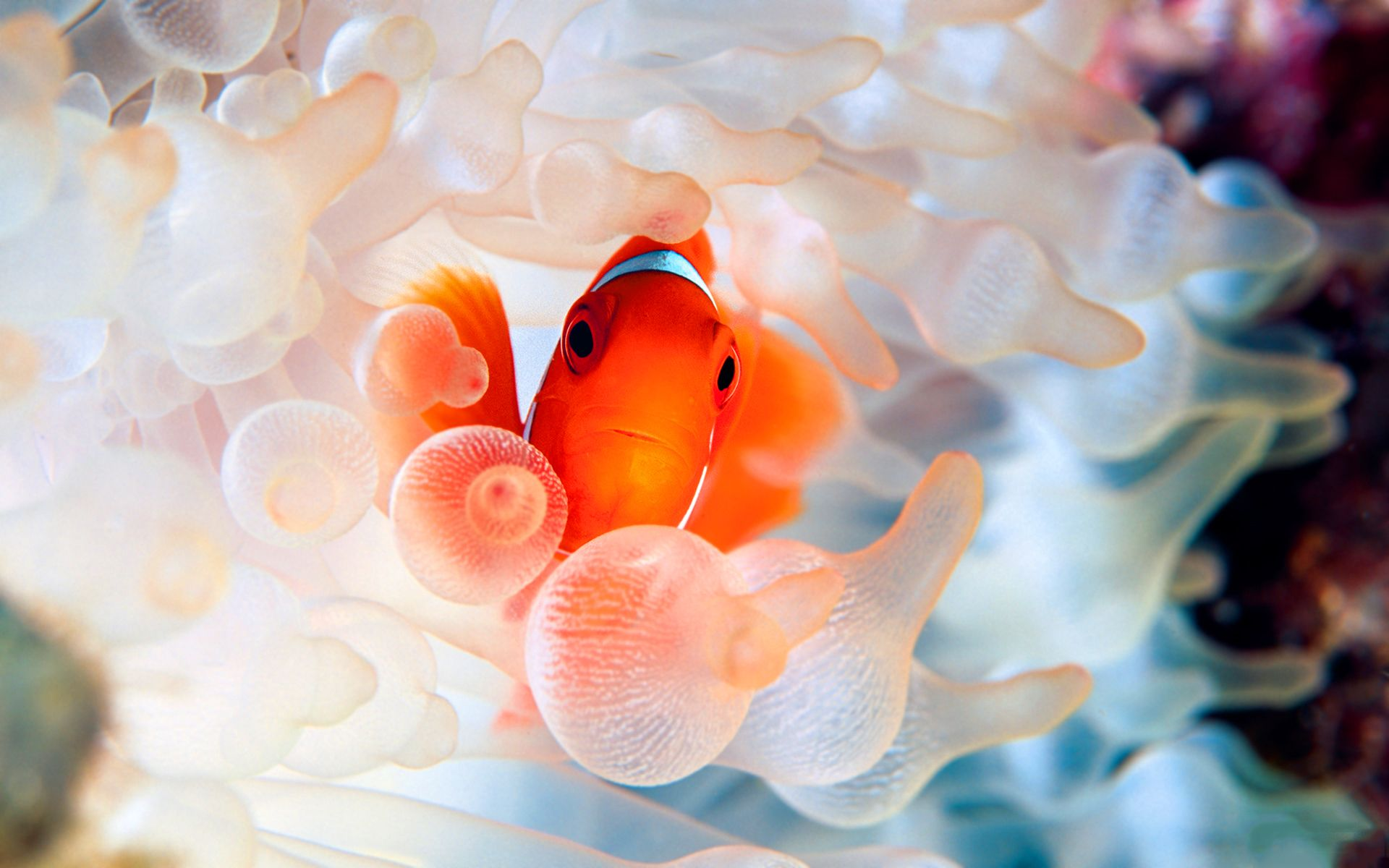The 27 best images about Clownfish on Pinterest | Finding nemo ...