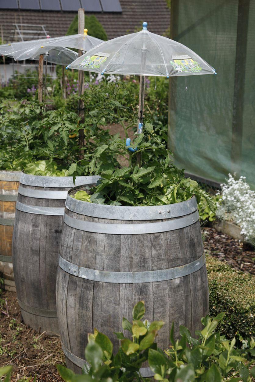 Upcycling Aussergewohnliches Hochbeet Hier Fuhlen Sich Tomaten Wohl Gepflanzt In Alten Wein Oder Whiskeyfassern Hab Weinfass Garten Hochbeet Garten Upcycling