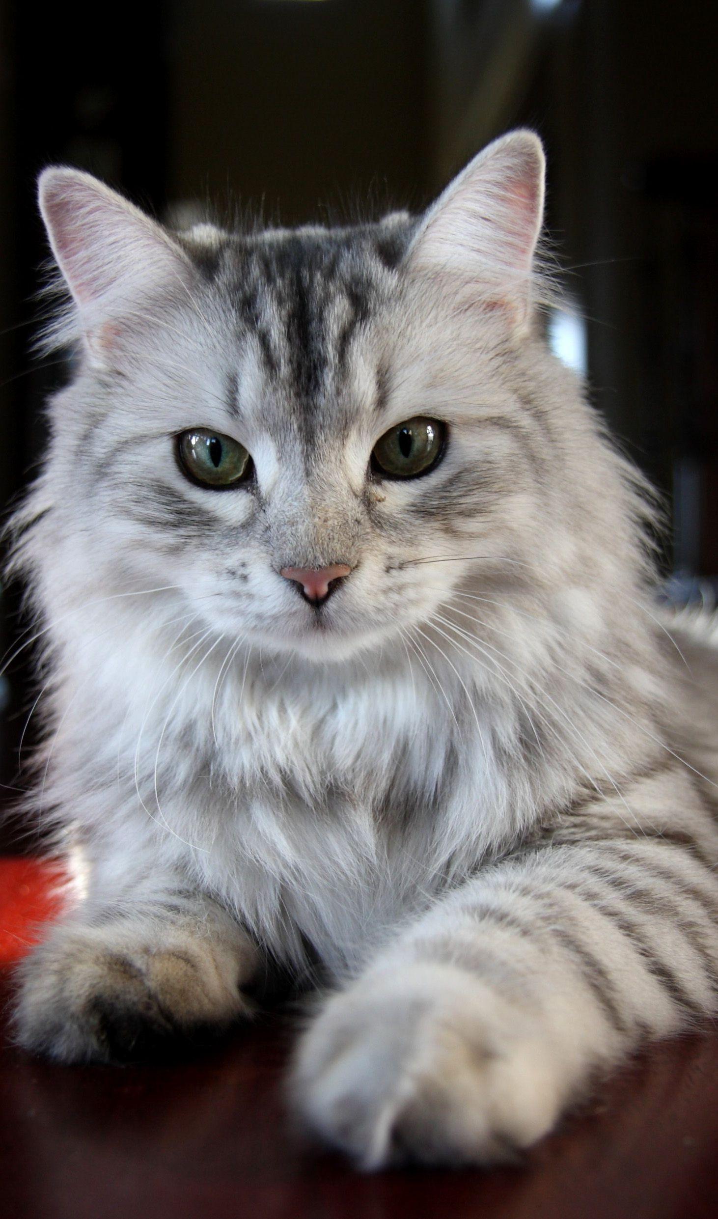 Siberian Cat Sasha
