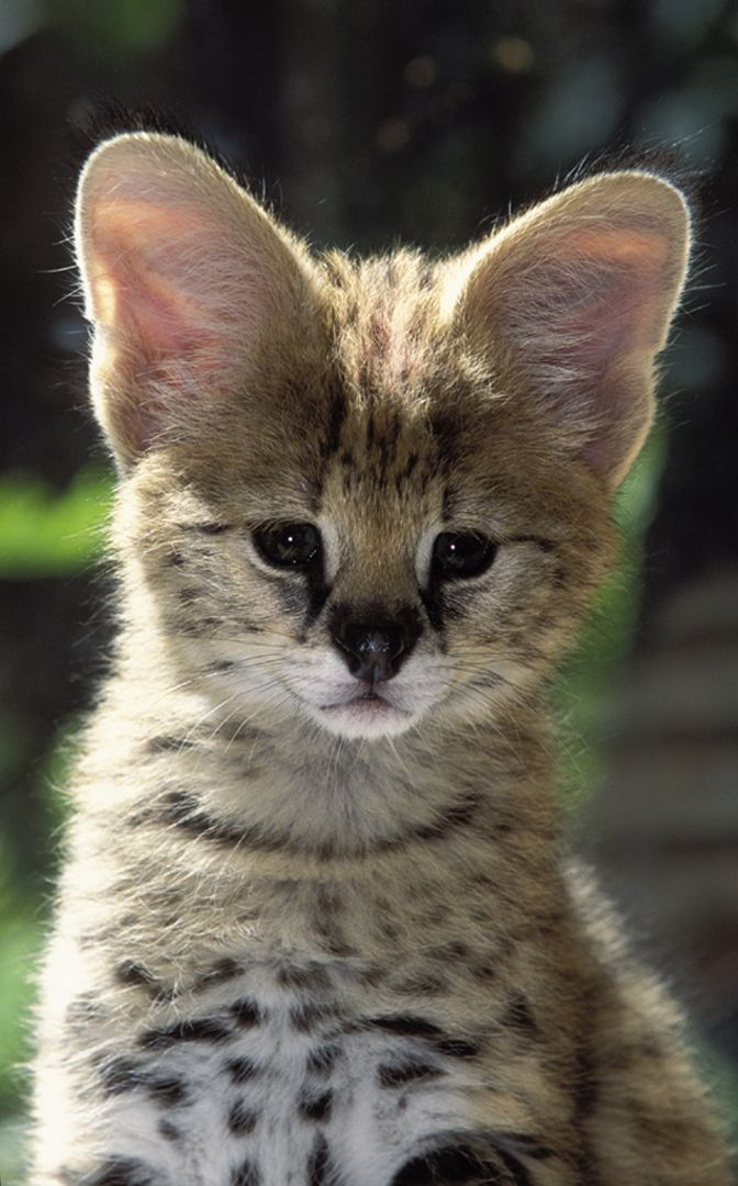 Bio on Serval Cubs born at Sandiego Zoo. They have overly