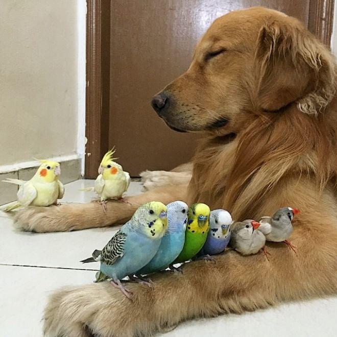 Bob, il golden retriever sedotto da un criceto e otto pappagallini