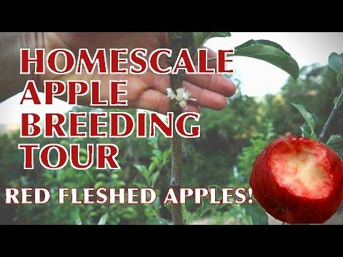 A Video Tour of my Amateur Apple Breeding Project « Turkeysong