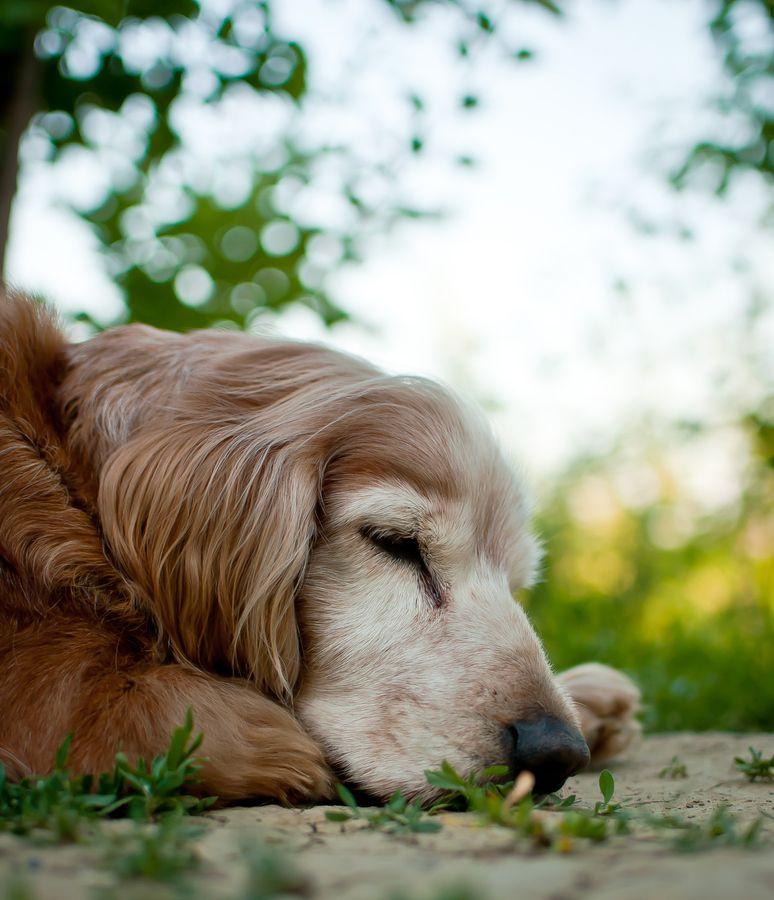 Esse cachorro dormindo representa o verdadeiro sono dos justos.
