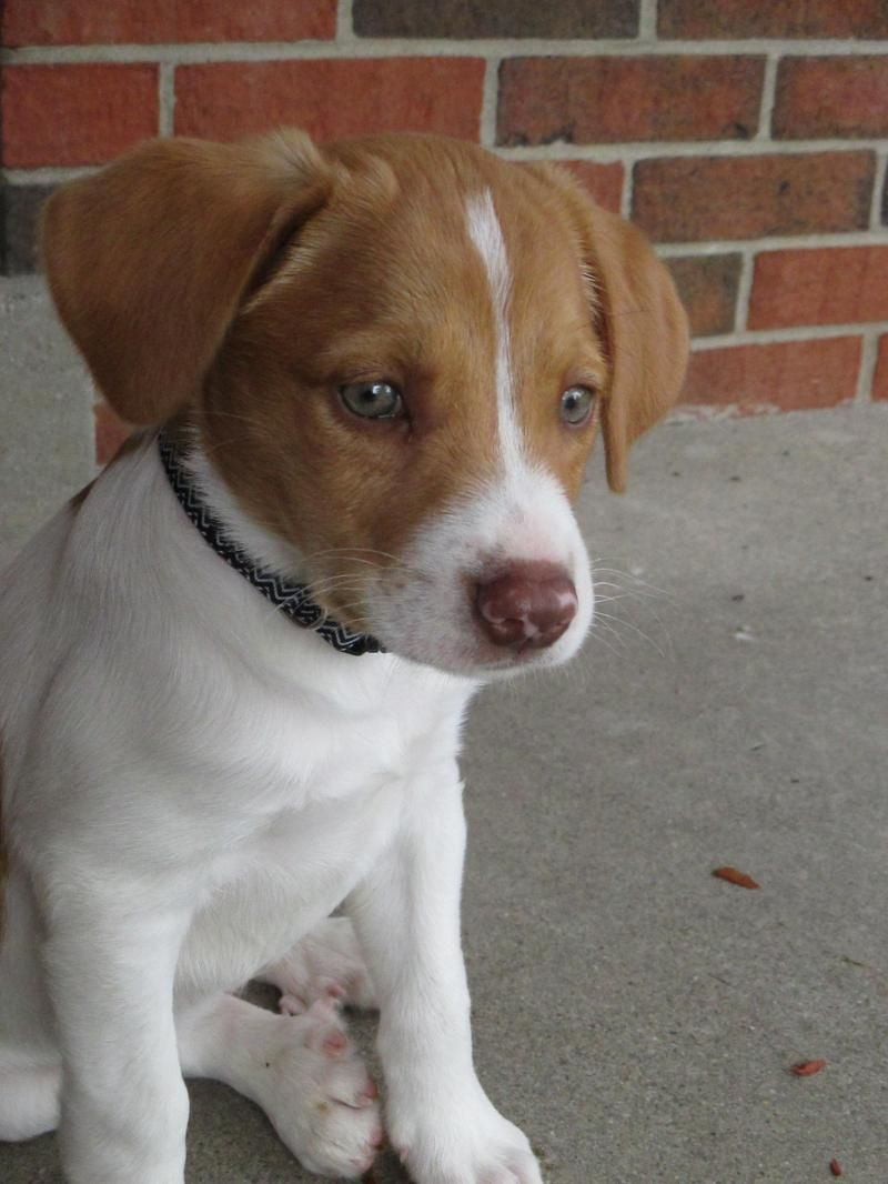 Adopt Auggie On Brittany Spaniel Brittany Spaniel Dogs Beagle Mix