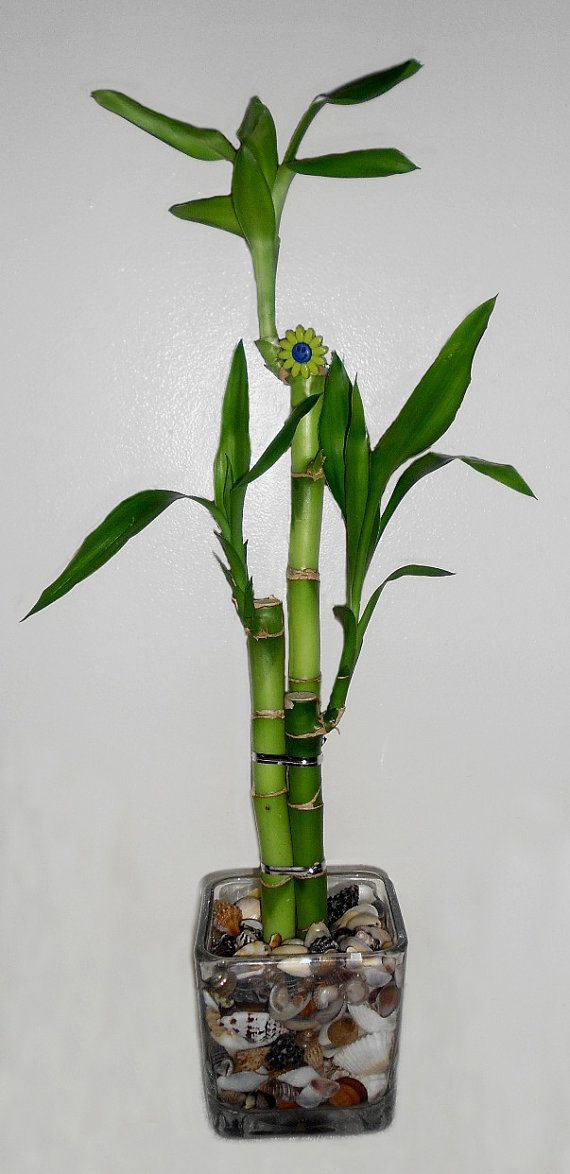 Lucky Bamboo 3 Stalk Arrangement In Glass Vase Wsea Shells Crafts
