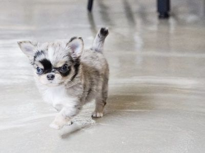 All Puppies For Sale Teacup chihuahua puppies, Toy dog