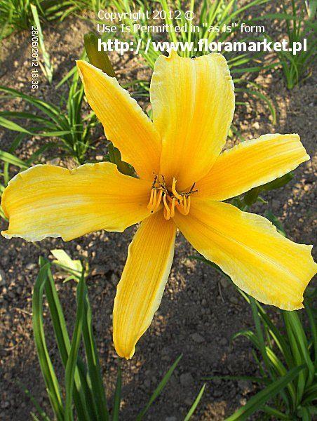 Liliowiec Ogrodowy Orange Beauty Lac Hemerocallis Kod 0925 Day Lilies Plants Orange