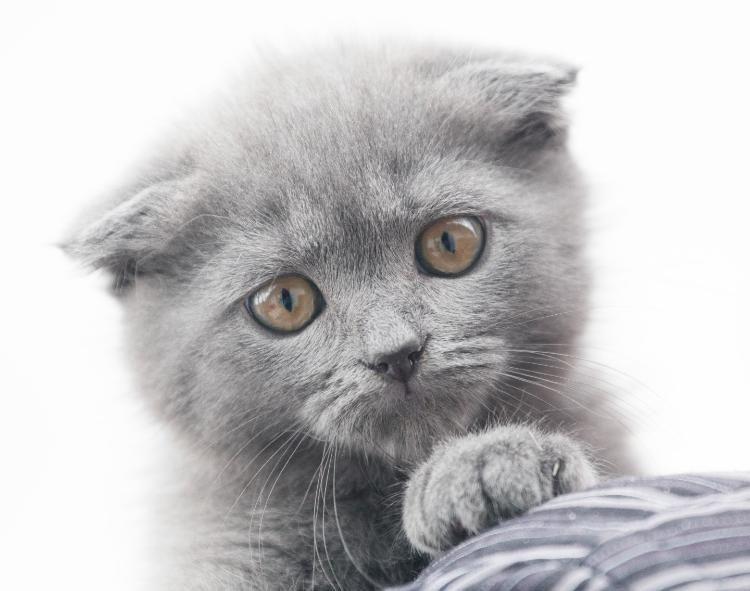 Eine kleine BKH (Scottish Fold) Katze mit Stammbaum