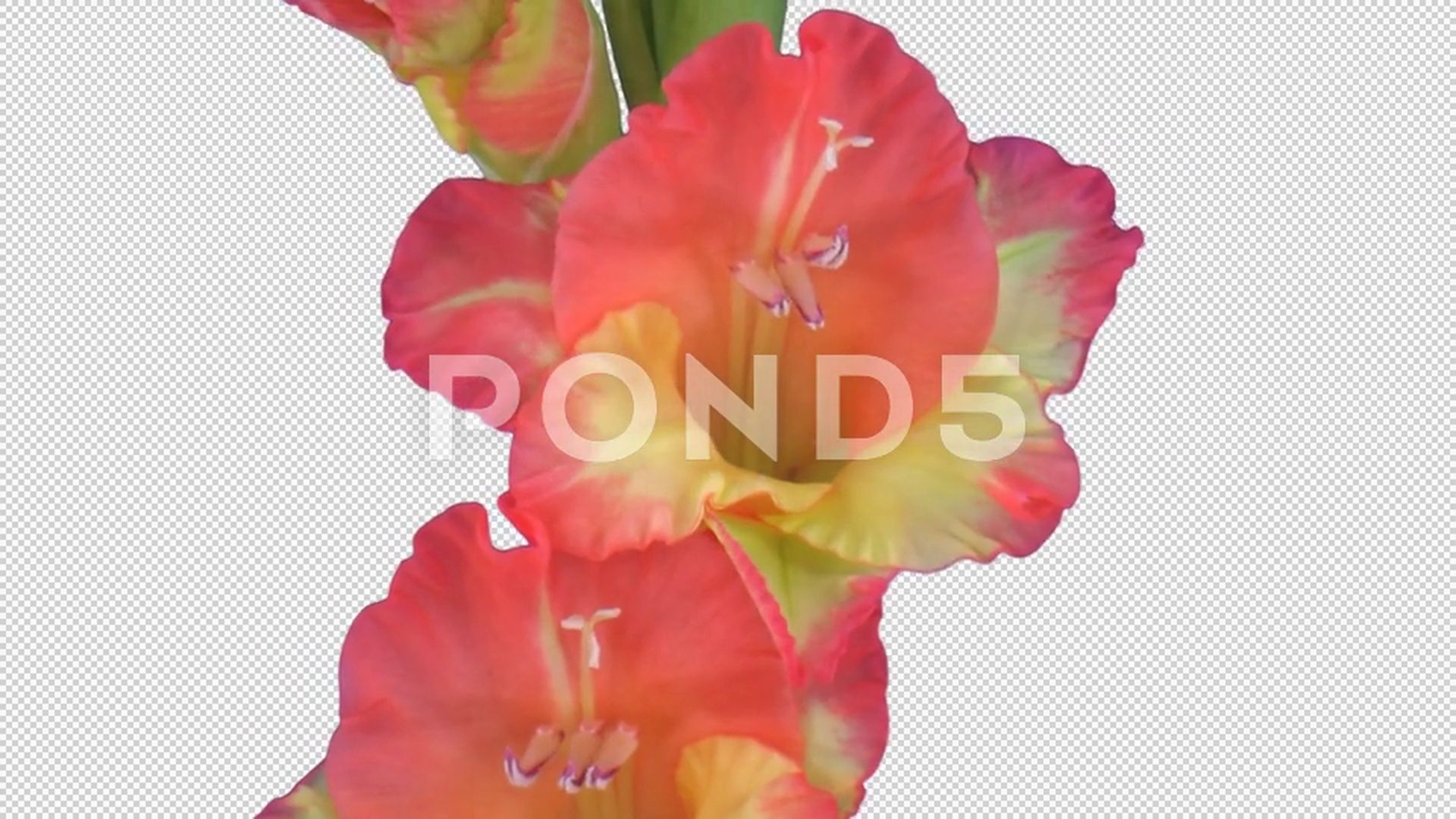 Time Lapse Of Opening Hybrid Gladiolus Flower With Alpha Channel Stock Footage Hybrid Gladiolus Opening Time Gladiolus Flower Gladiolus Alpha Channel